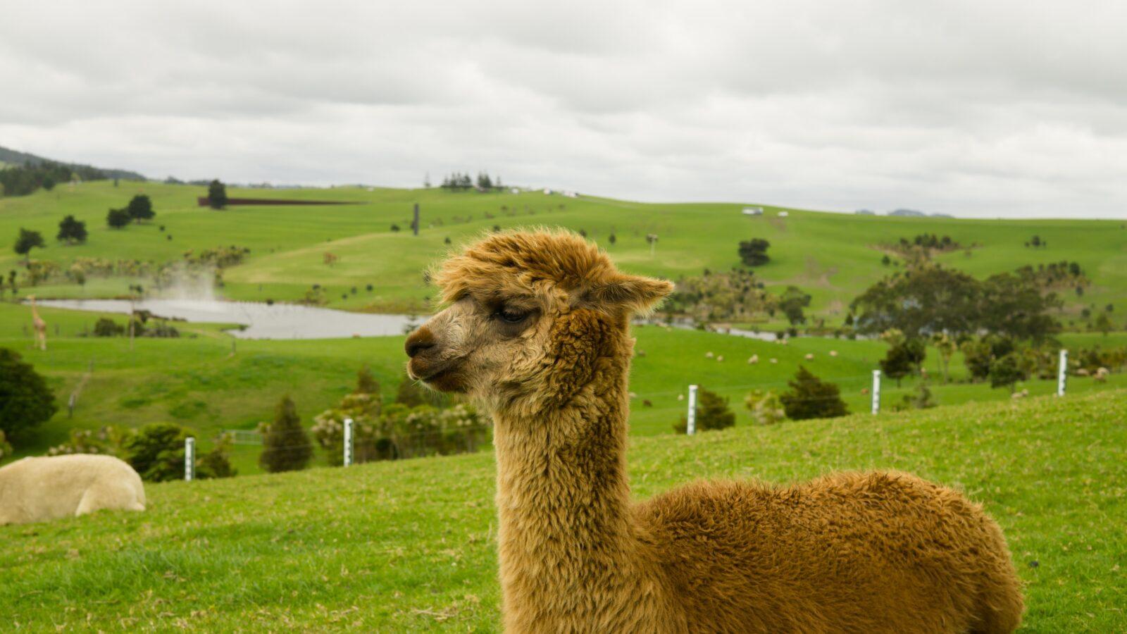 Poznaj urocze i pożyteczne zwierzaki. Wszystko, co musisz wiedzieć o Alpakach!